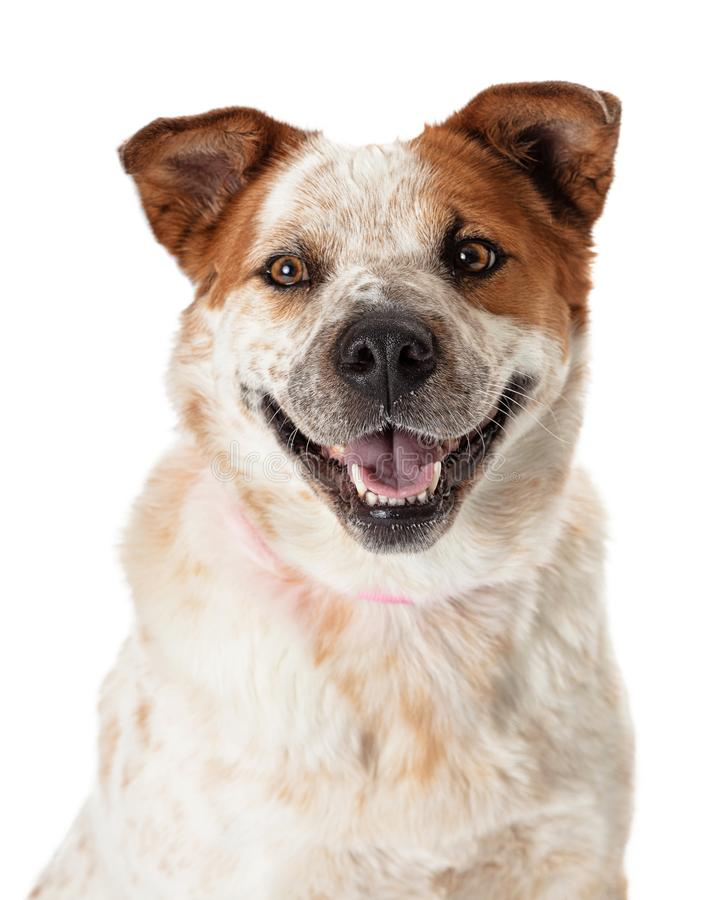 Closeup happy smiling heeler dog. Closeup of of happy friendly large mixed heeler breed dog looking at camera stock photos