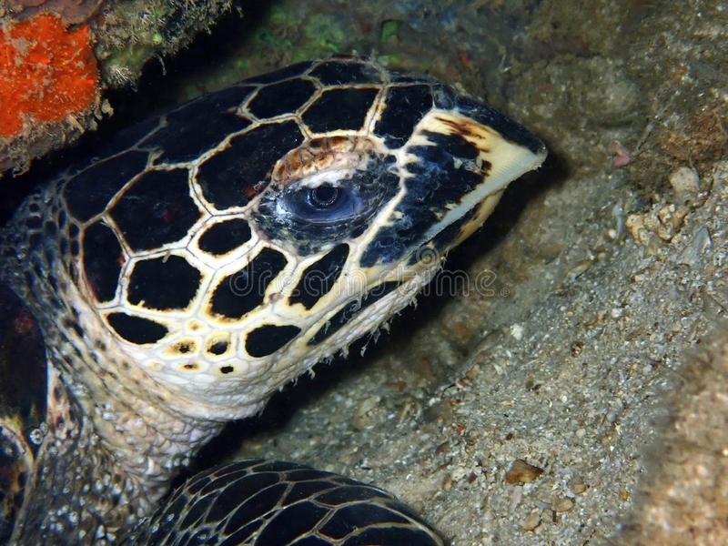 Closeup with the beautiful Hawksbill sea turtle during a leisure dive in Tunku Abdul Rahman Park, Kota Kinabalu. Sabah, Malaysia. Closeup with the Hawksbill sea royalty free stock image