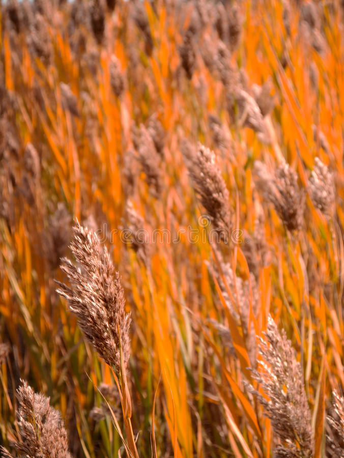Download Closeup Hay in Field stock image. Image of crops, field - 27277545