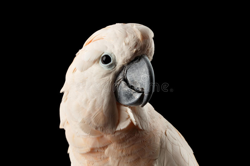 Closeup Head Beautiful Moluccan Cockatoo, Pink salmon-crested Parrot, Isolated Black stock photos