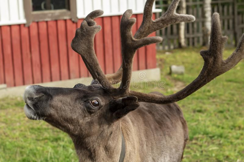 Closeup of the head of a deer with horns stock image
