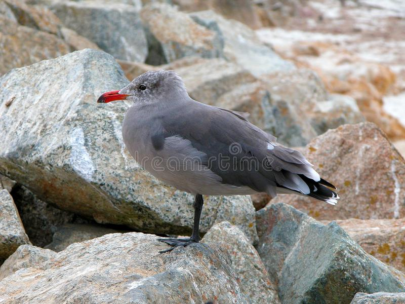 Heermann`s gull, a seagull with red beak. Closeup of head and neck of Heermann`s Gull showing details of feathers and red beak. The Heermann`s gull larus stock photography
