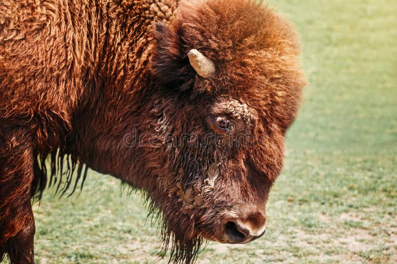 Closeup head of one plains bison outside. Herd animal buffalo ox bull staring looking down on meadow in prairie. Wildlife beauty stock photography