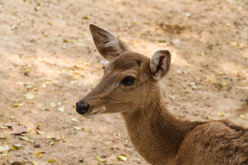 Closeup head shot of deer doe royalty free stock photos