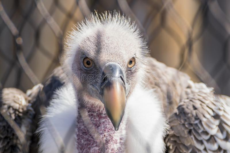 A Closeup Head Shot of a Griffon Vulture. Grey, portrait, ruppell, gyps, tree, feather, rueppells, eye, death, beak, carrion, gray, scavenging, face, animal royalty free stock photography