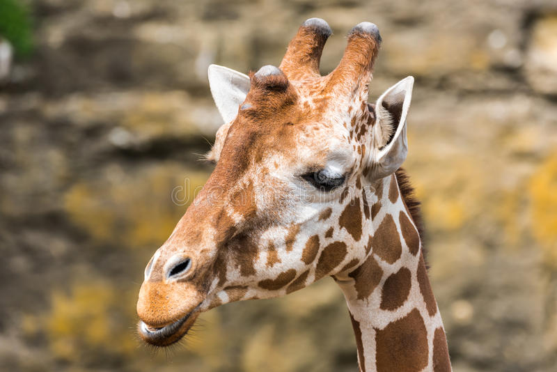 Closeup head view of a Giraffe royalty free stock photography