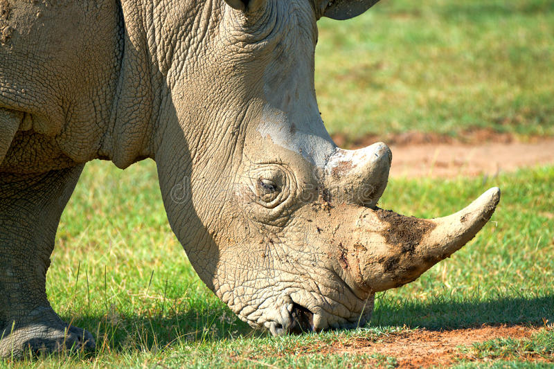 Closeup of a head of white rhino. Close up of a head of white rhinoceros ( Ceratotherium simum stock images