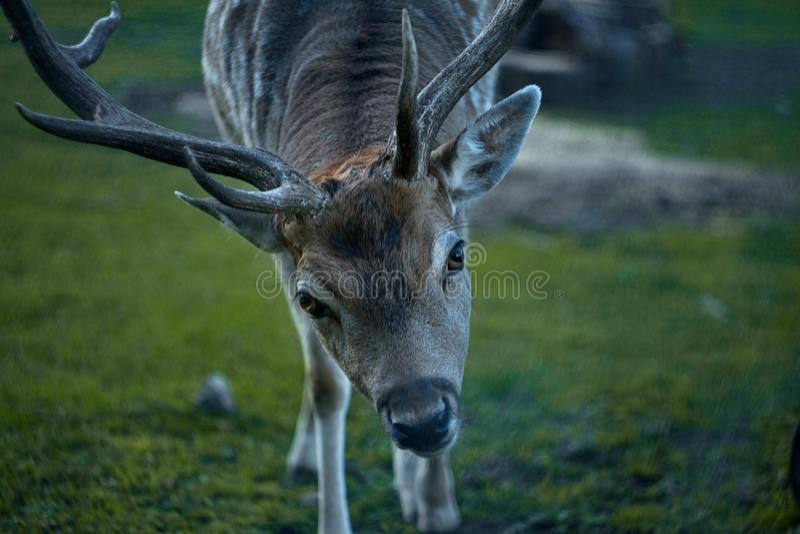 Closeup head wild deer stock photography