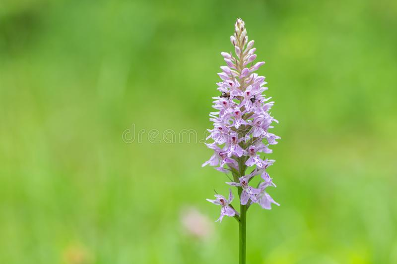 Closeup of a heath spotted-orchid in the Austrian Alps royalty free stock images