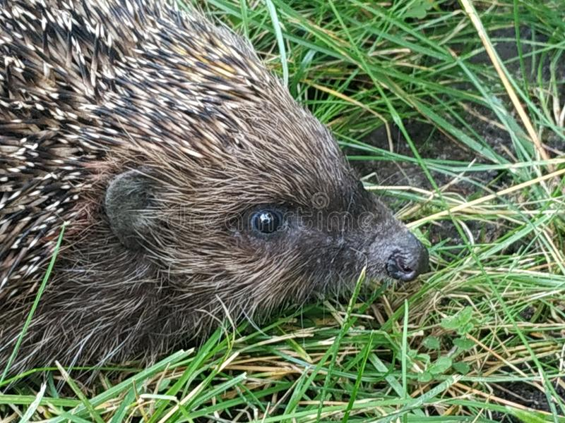 Closeup hedgehog in green grass . Cute hedgehog face with beady eyes. Erinaceus europaeus. Nocturnal animal in wildlife stock photos