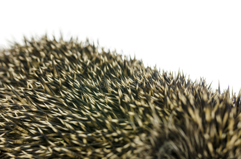Closeup of hedgehog quills. Over white background royalty free stock images