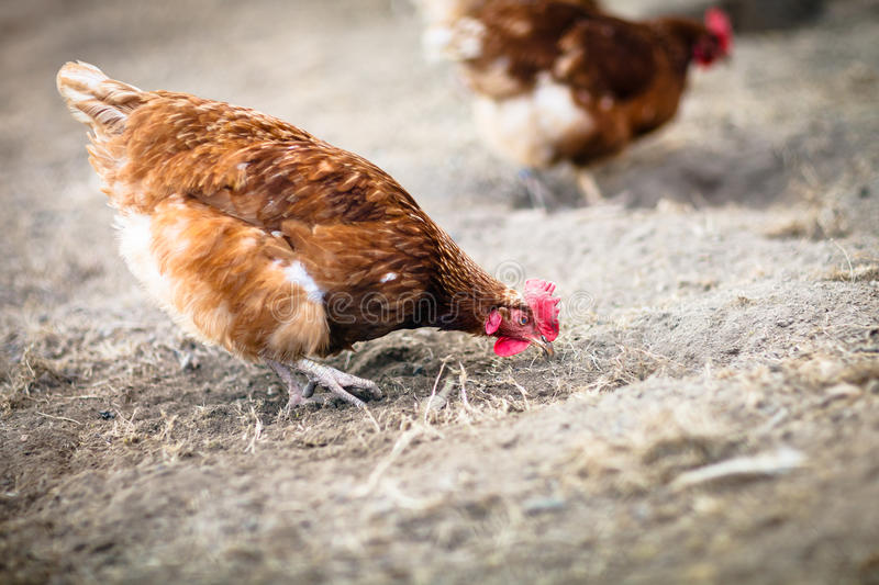 Download Closeup Of A Hen In A Farmyard Stock Photo - Image: 24610632