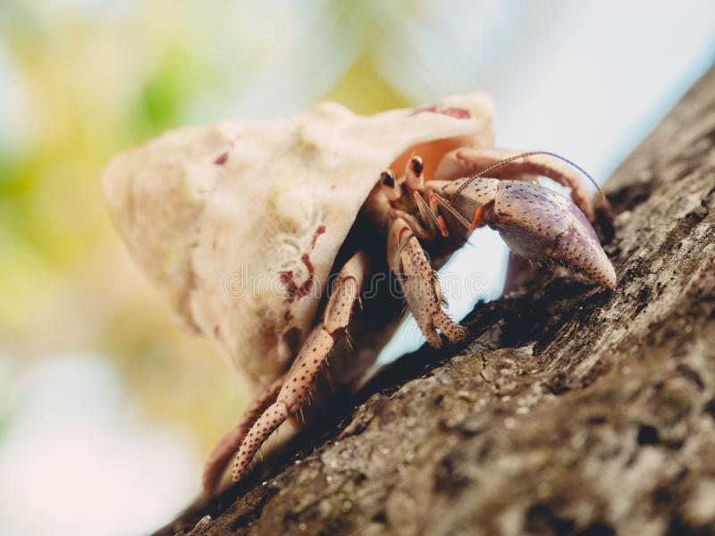 Closeup of a hermit crab crawling on a wood under sunlight with a blurry background. A closeup of a hermit crab crawling on a wood under sunlight with a blurry royalty free stock images
