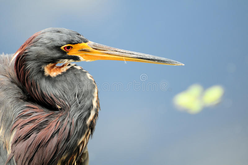 Closeup of a Heron stock photography