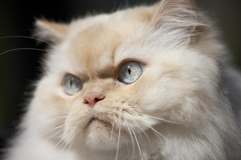 Closeup, himalayan cat