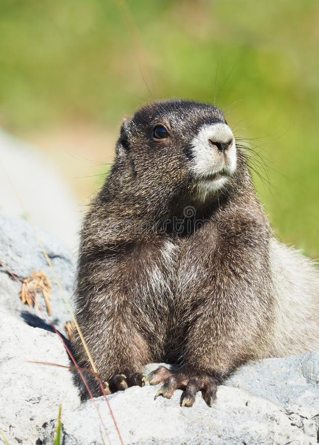 Closeup of a Hoary Marmot on a Rock royalty free stock images