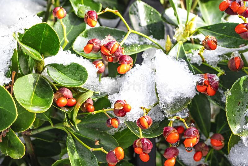 Closeup of holly bush branch with green leaves and bright red berries, snow. beautiful red berries .Red frozen berries on the royalty free stock photography