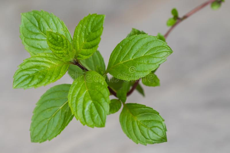 Closeup of homegrown Carinthian mint Kaerntner Mint with blurr royalty free stock image