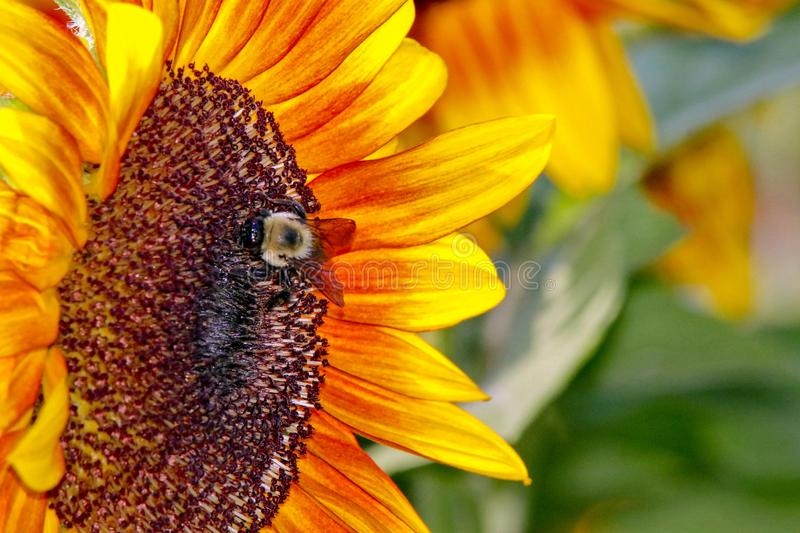 Closeup of a Honey Bee on a Brilliant Yellow Sunflower stock photography