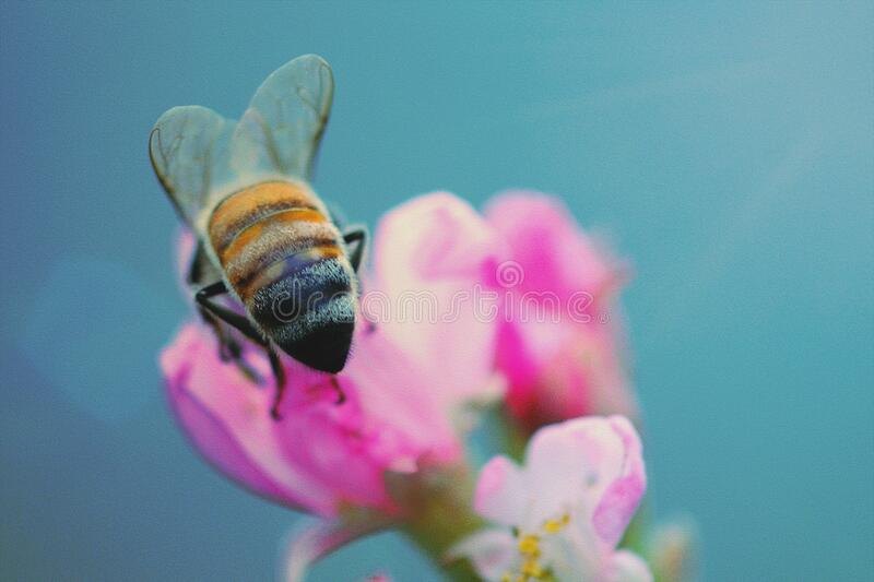 Honey bee butt on cherry blossom, insect royalty free stock photography
