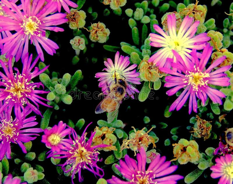 Closeup of honey bee in floral color explosion royalty free stock photography