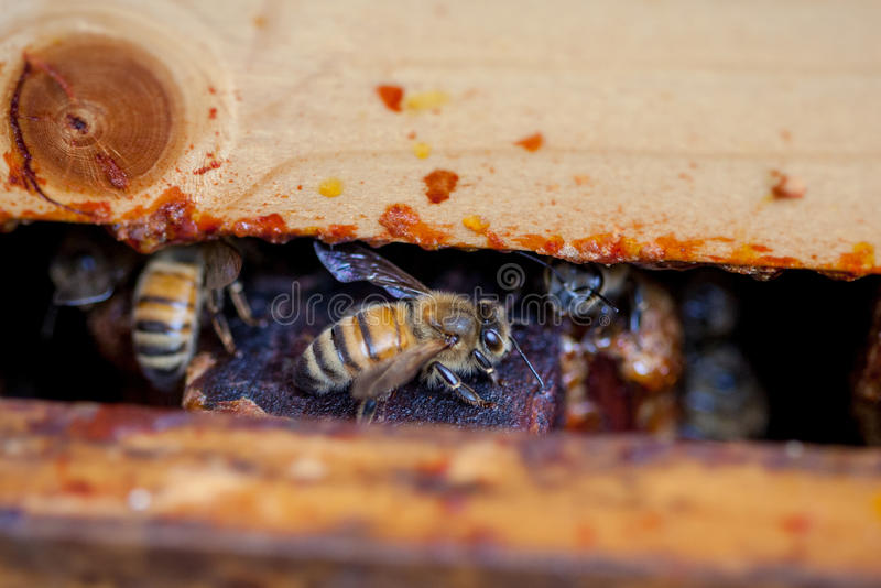 Closeup of a Honey Bee through a Pollinator Pallet in an Apiary. A macro view of a honey bee inside a pollinator of an aviary pallet where honey bees are kept to stock photography