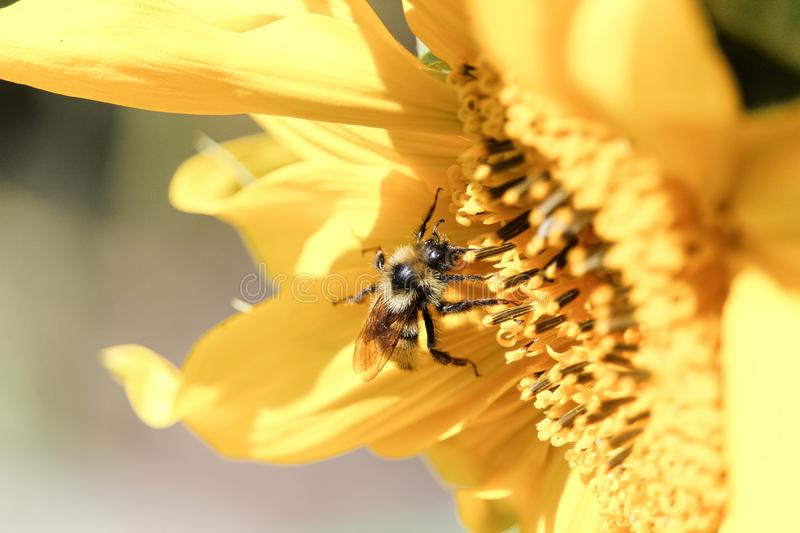 Closeup of a honey bee on a sunflower stock images
