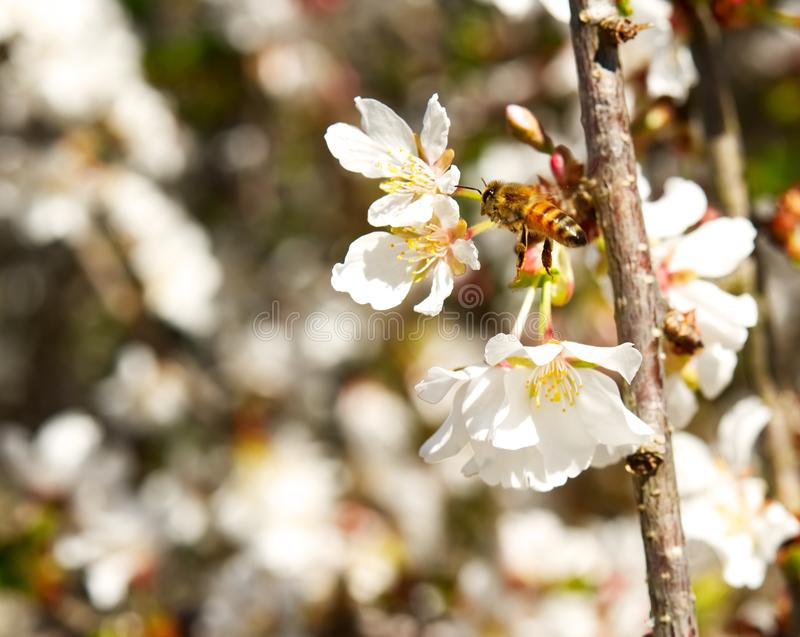 A closeup of a honeybee flying around white cherry blossoms. stock photography