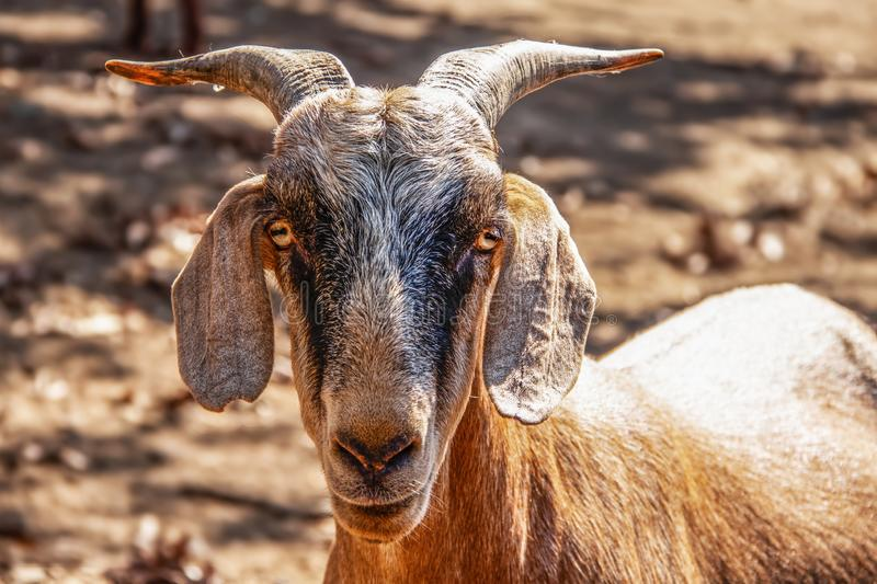 Closeup of horned goat head staring at camera with strange eyes - blurred background.  stock photography