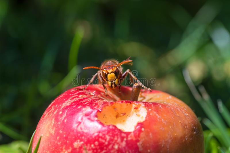 Closeup of a hornet on a red ripe apple in the grass. Blurry green background with copy space, front view of the insect stock photos