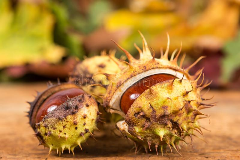Closeup with horse chestnuts in shell and autumn background stock photo