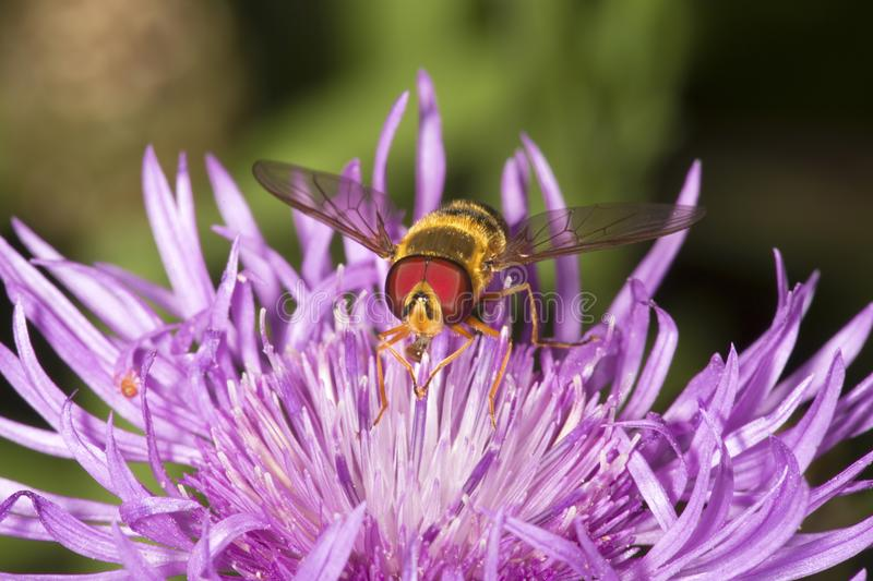Closeup of a hover fly on a lavender bergamot flower. Closeup of a hover fly pollinator, a bee mimic, facing the camera on a lavender bergamot flower, Monarda royalty free stock image