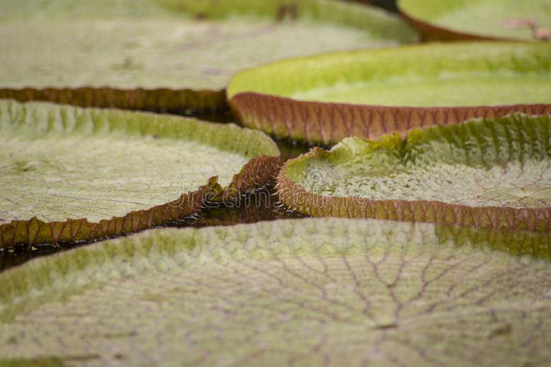 Closeup of the huge floating lilly pad leaves of Victoria Regia stock photography