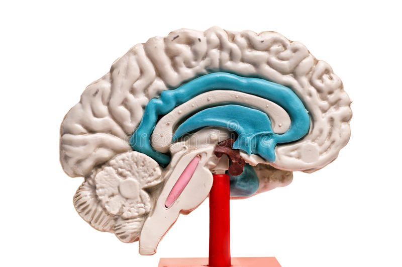 Closeup of human brain model on white background royalty free stock photo