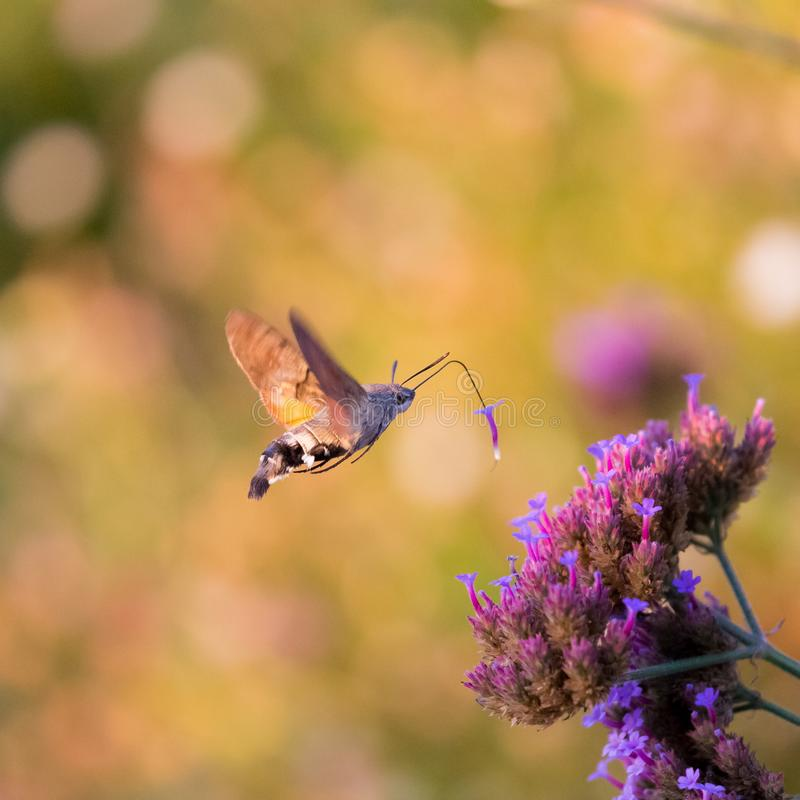 Closeup of a hummingbird hawk-moth 01 royalty free stock photo