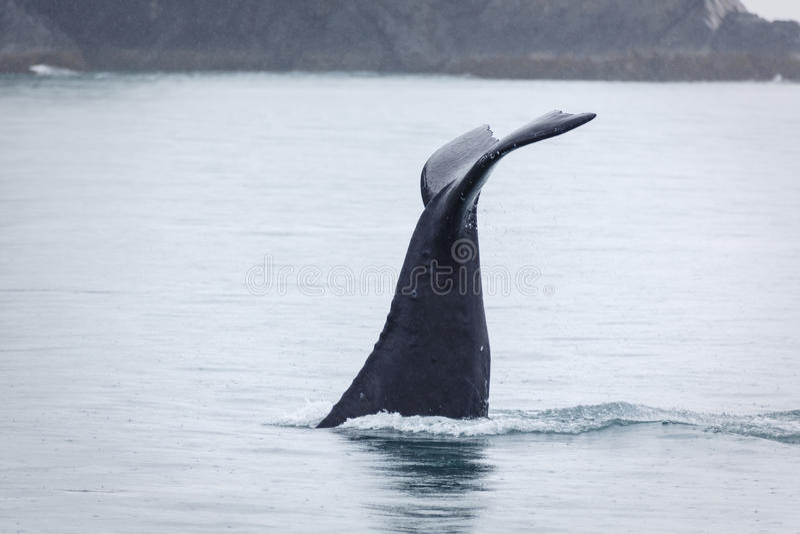 Closeup of humpback whale fluke disappearing in frigid Alaskan waters royalty free stock photo