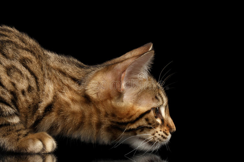 Closeup Hunting Little Bengal Kitty Stare, Isolated Black Background royalty free stock images