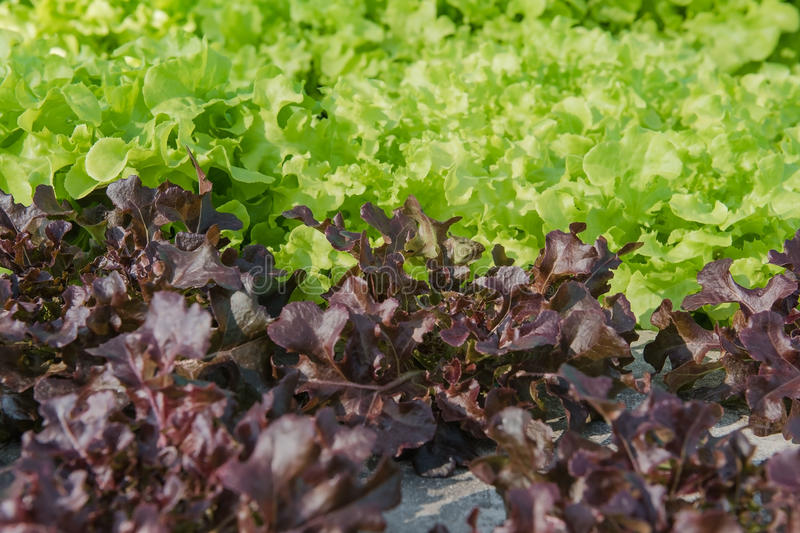 Closeup Hydroponic Plantation in the farm of agriculture stock images