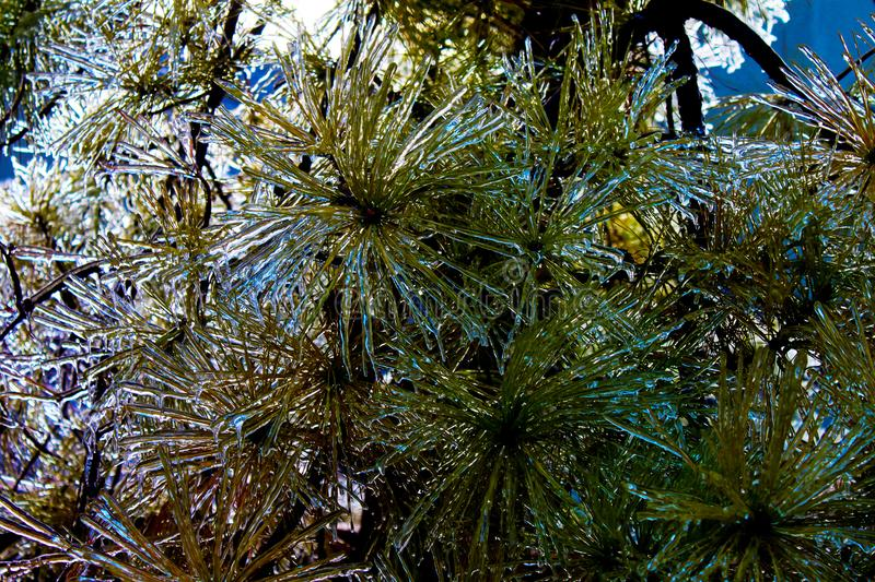 Closeup of ice encrusted evergreen boughs royalty free stock images