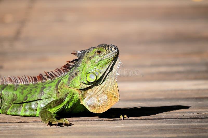 Closeup Of Iguana Royalty Free Stock Photos