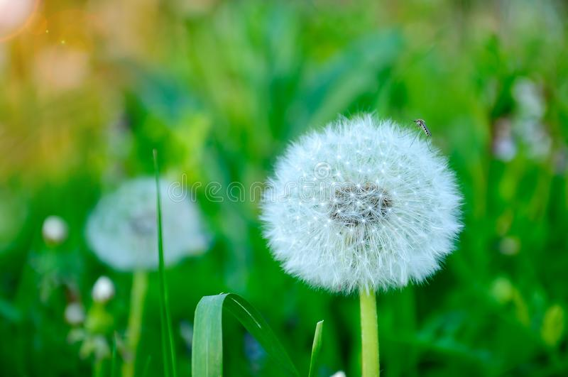 Closeup image of a beautiful magnificent white flower dandelion. Beauty and tenderness of nature concept. Mosquito sitting on a royalty free stock image