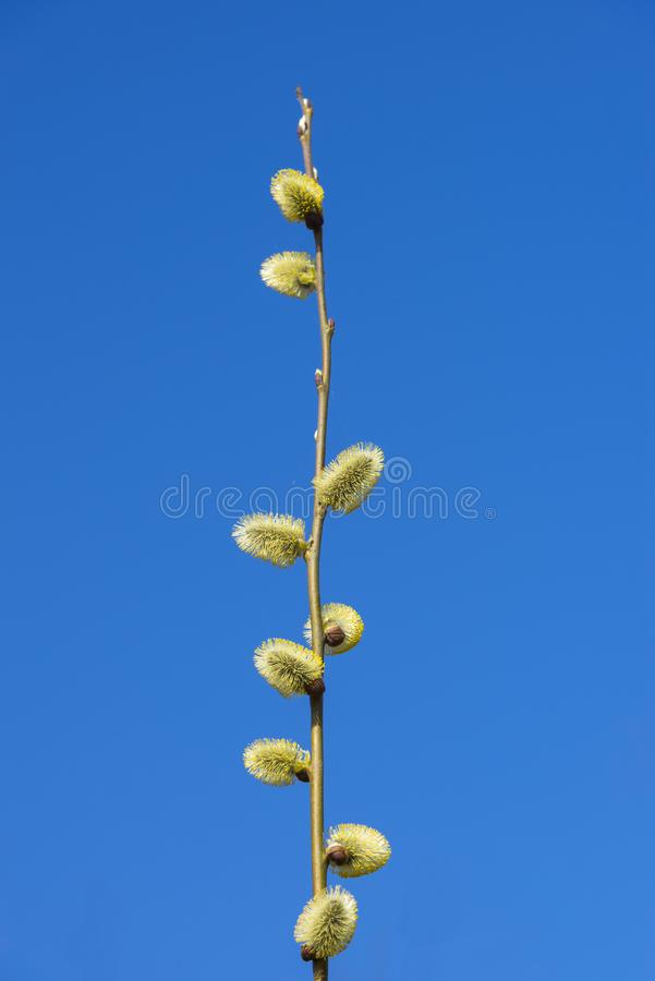 Blooming willow. A closeup image of blooming willow, Belarus stock image