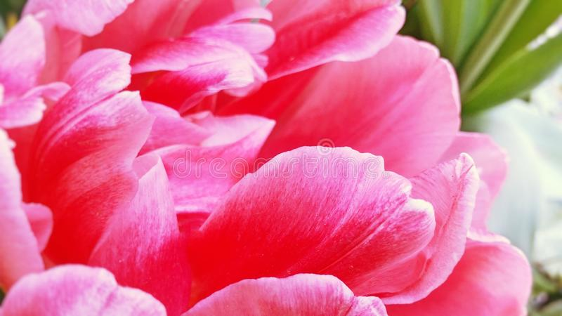 Closeup image of bright pink fluffy tulip flower. Petals with different shades of pink color royalty free stock photography