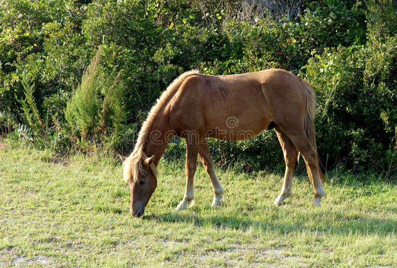 Wild horse Side View royalty free stock photography