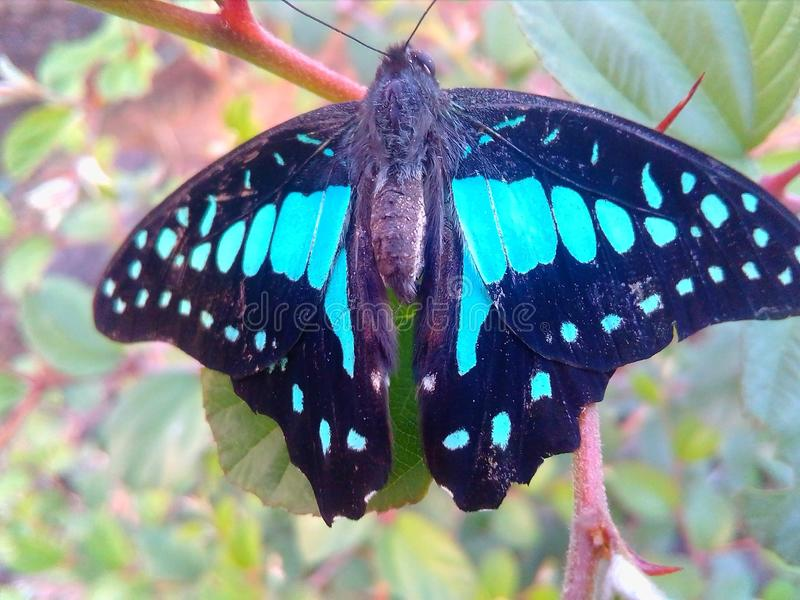 Blue butterfly image royalty free stock photos