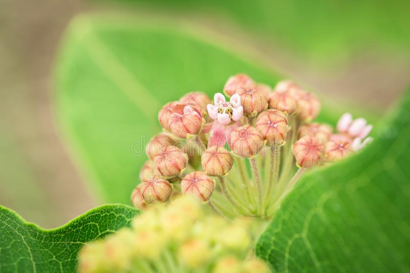 Common milkweed closeup. Closeup image of the common milkweed wildflower. Image taken along a Kansas roadside on June 12, 2018 royalty free stock photos