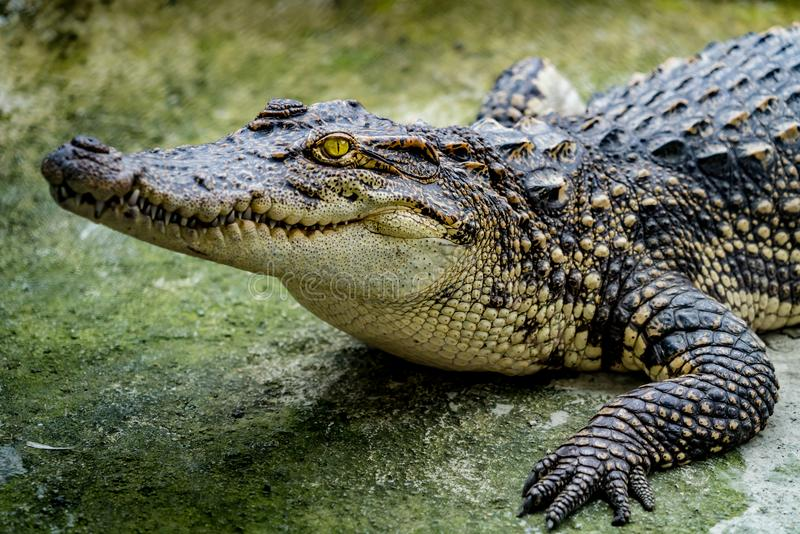 Crocodile in the zoo stock image