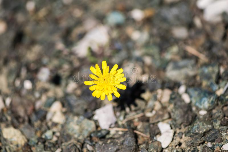 Closeup image of dandelion growing up from the gravel. The concept of life and motivation. Struggle for life. Desire to live royalty free stock photo