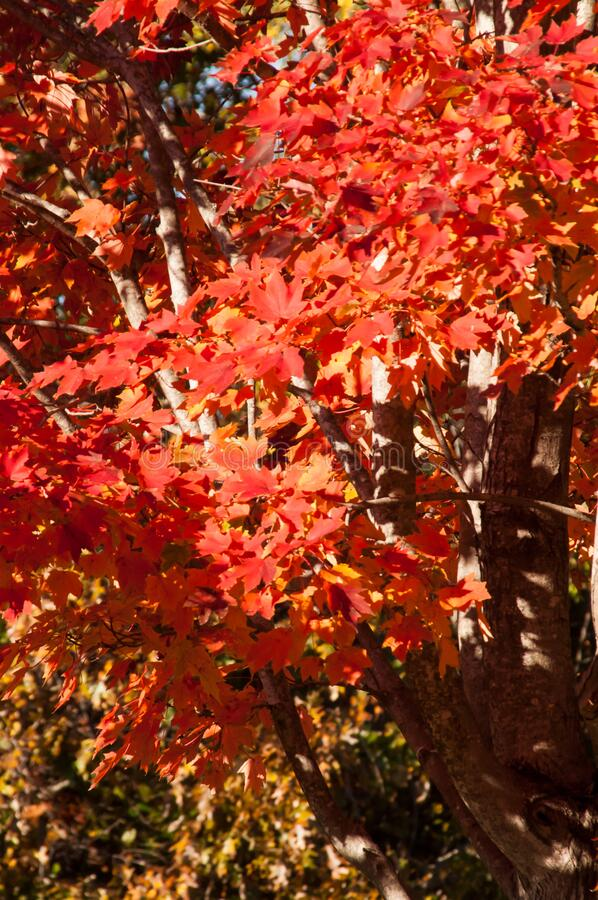 Closeup image featuring red autumn leaves stock photos