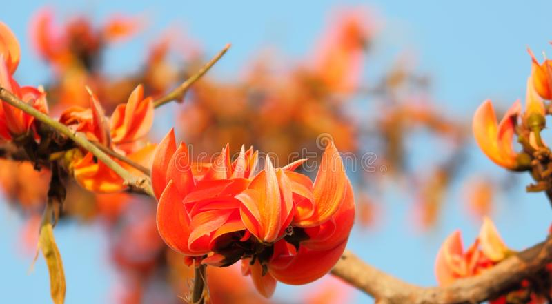 Flowers of palash butea monosperma. Closeup image of flowers. the flower blooms in the summer season. the color of these flowers is like a fire. these flowers stock photography